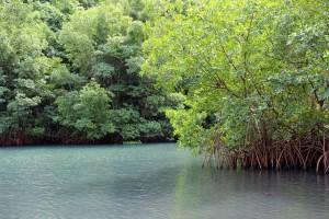 La mangrove ne Guadeloupe